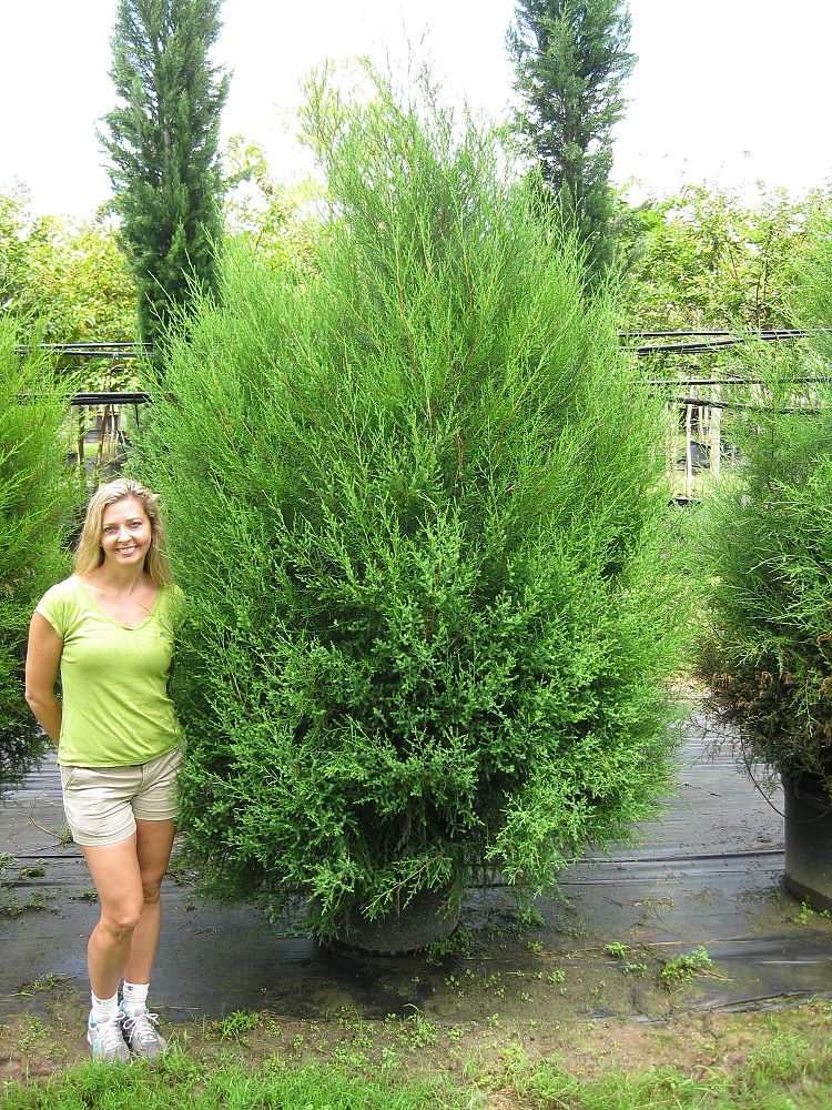 Southern Red Cedar ~ Call