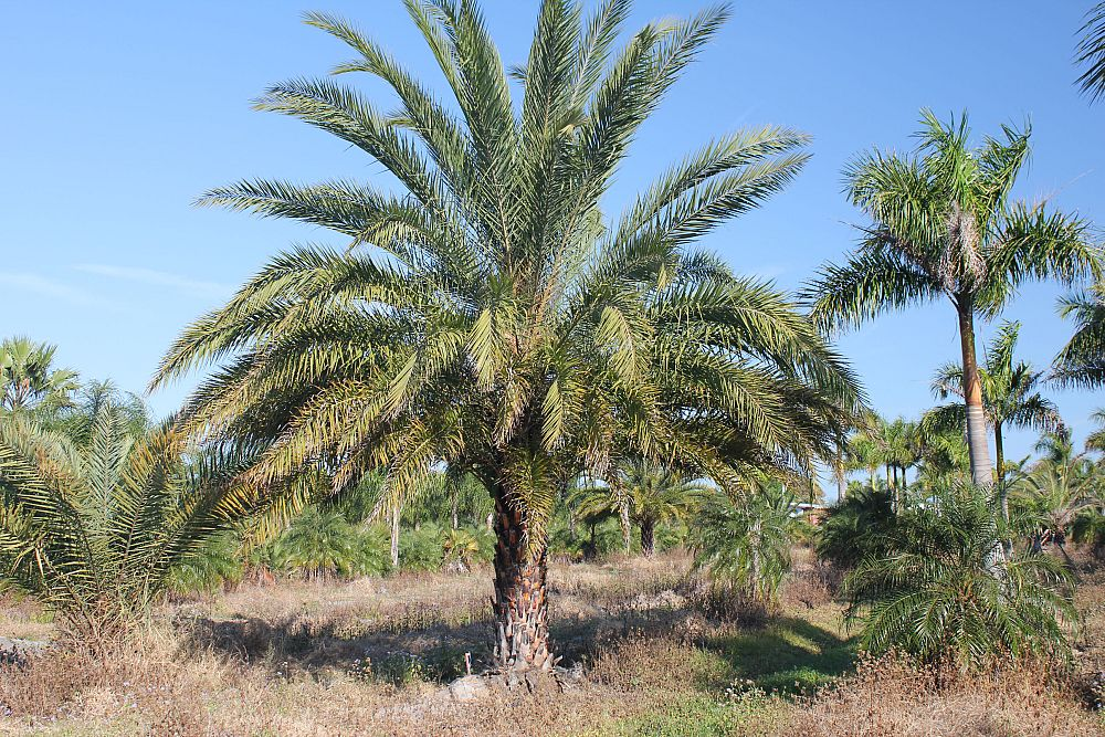 Phoenix Sylvestris Sylvester Palm Silver Date Palm Wild Date Palm  HD